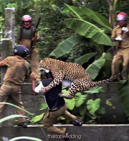 บูมเมอแรง แฟชั่น ลายเสือดาว เสือขี้เหงา เบื่อป่า