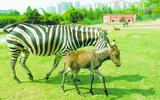 ม้าไฮบริด ชื่อ ดองก้า ( Donkra ) ตัวจริง ไม่ใช่หมา ให้ขี่